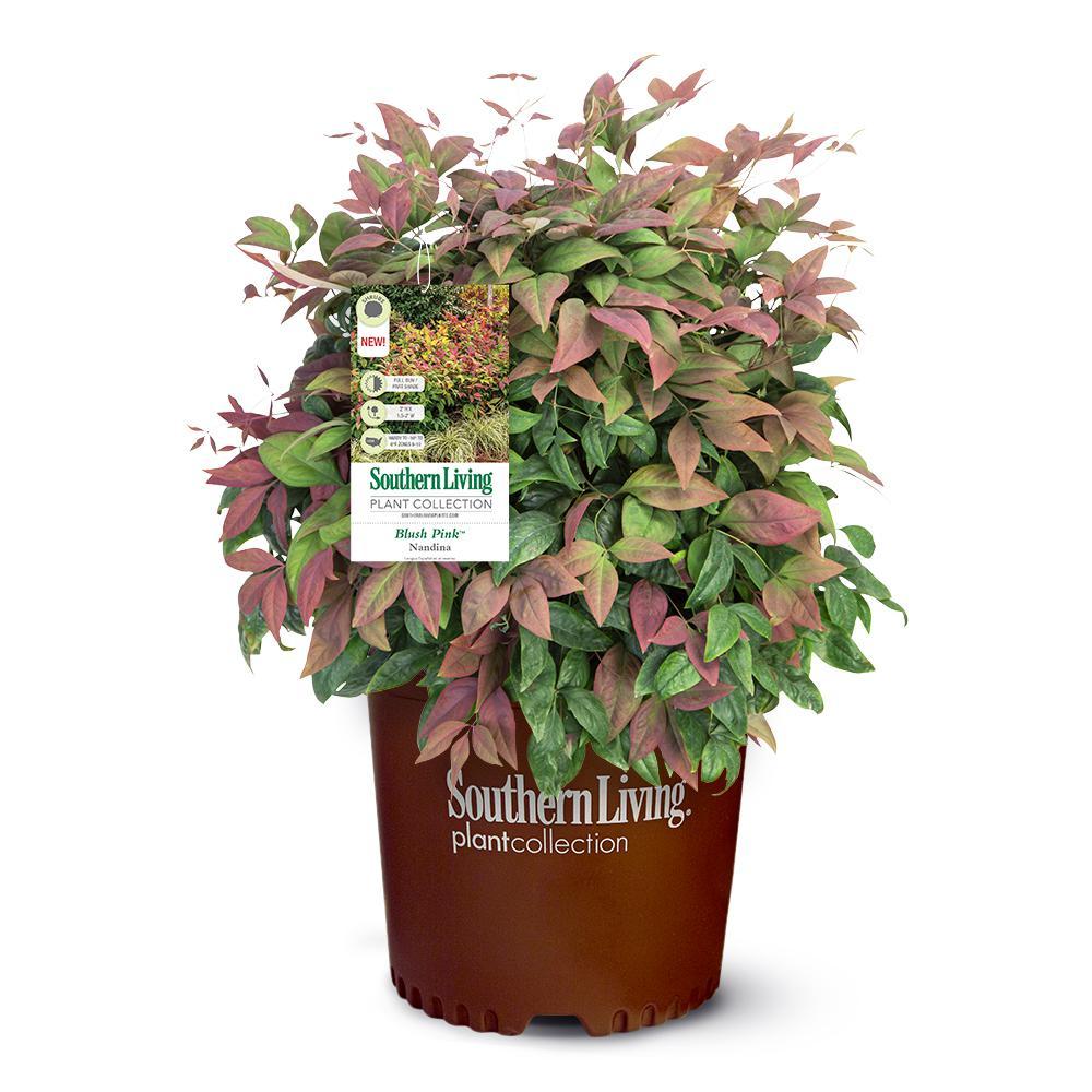 2.5 Qt. Nandina Blush Pink Shrub with Pink and Red Foliage