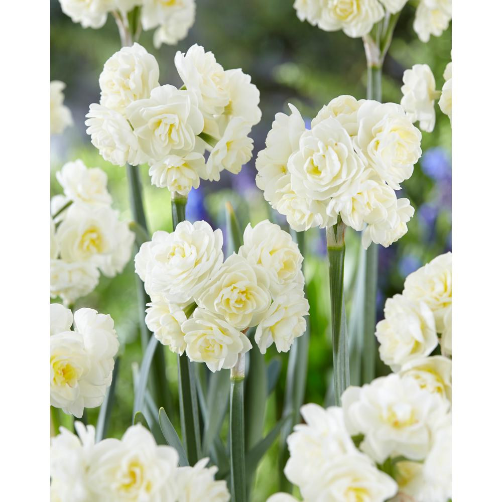 White Flower Bulbs Garden Plants Flowers The Home Depot