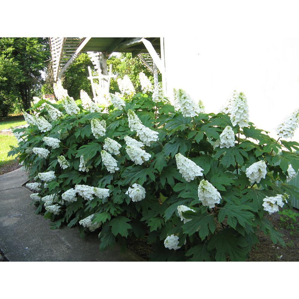 4.5 in. qt. Gatsby Gal Oakleaf Hydrangea (Quercifolia) Live Shrub, White