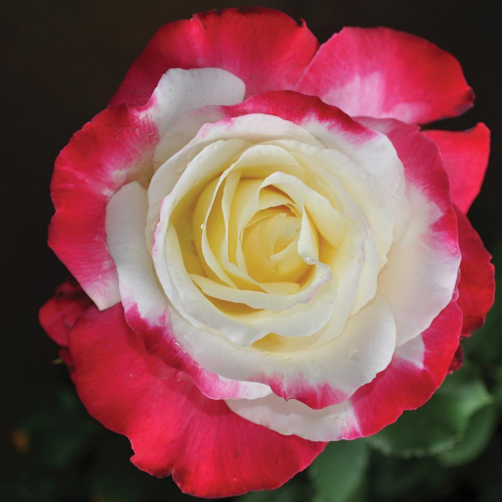 Mea Nursery Fragrant Magenta And Cream Rose Double Delight