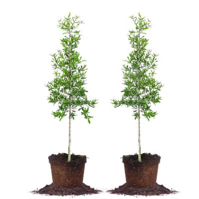 #5 Willow Oak Tree (2-Pack)