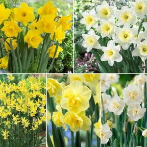 Daffodil Border Assortment Dormant Bulbs (84-Pack)