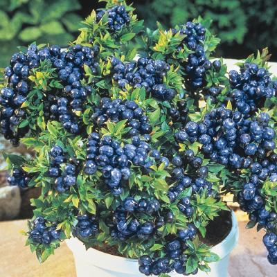 4 in. Pot Tophat Blueberry Vaccinium, Live Potted Fruiting Plant (1-Pack)