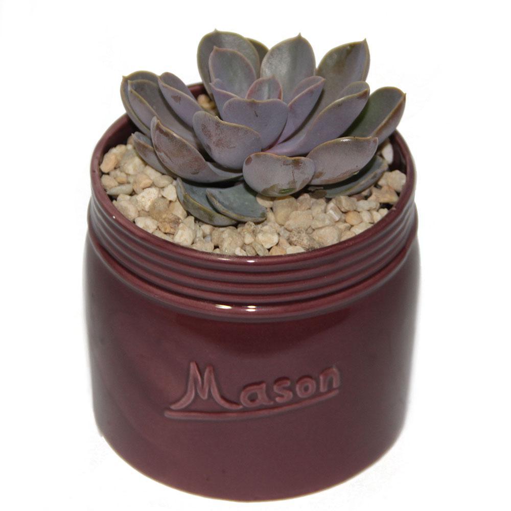 Echeveria Succulent in 4.5 in. Mason Jar Mahogany