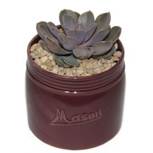 Costa Farms Echeveria Succulent in 4.5 inch Mason Jar Mahogany by Costa Farms
