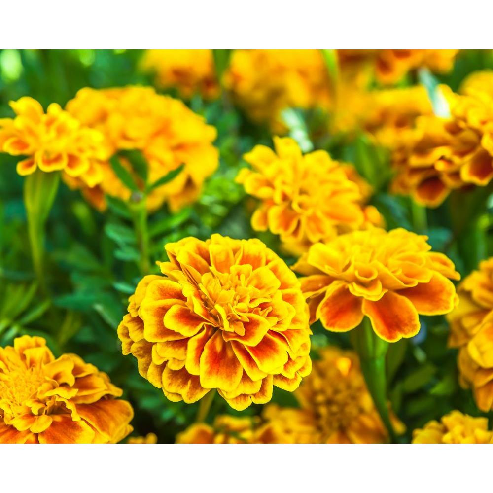 pot marigold plant Annual flowers also known as english marigolds or pot marigolds calendula repels a number of bad nematodes in the soil, but may attract slugs plant with tomatoes and asparagus follow along with this handy how to grow calendula guide and grow some sunshine in your garden this summer direct sow.