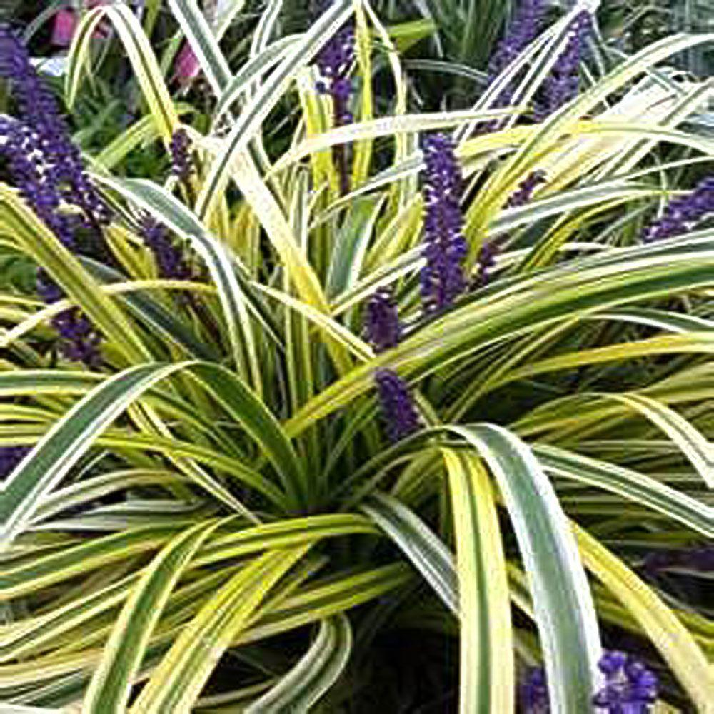 Onlineplantcenter 1 Gal Variegated Lily Turf Plant L872cl The