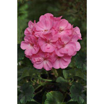 1 Qt. Pink Geranium Flowers in Grower Pot (8-Pack)