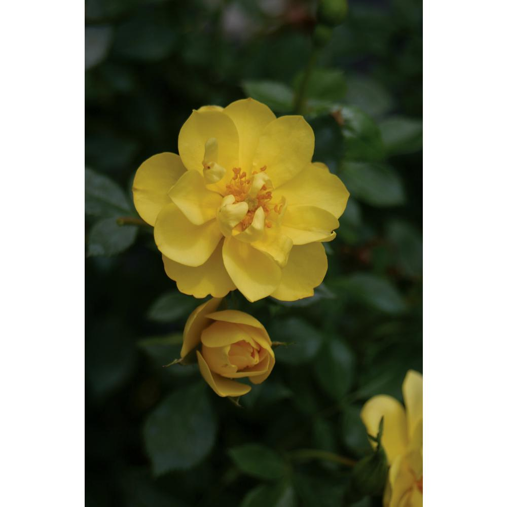 Proven Winners 3 Gal Oso Easy Lemon Zest Landscape Rose Rosa Live