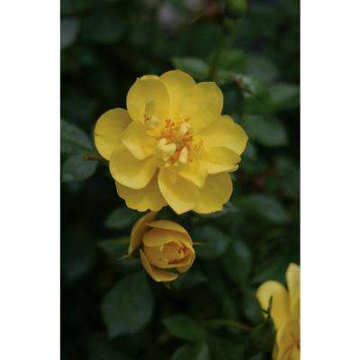 3 Gal. Oso Easy Lemon Zest Landscape Rose (Rosa) Live Shrub, Yellow Flowers