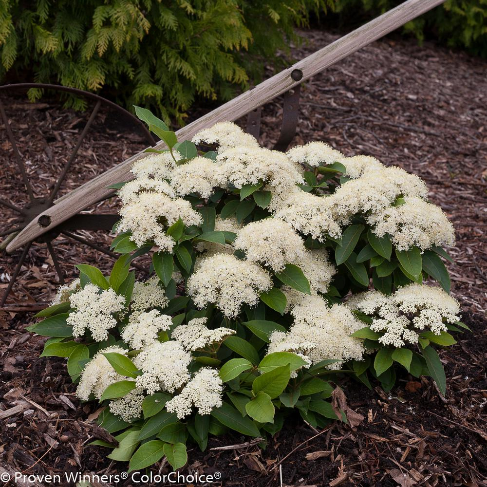 4.5 in. qt. Lil' Ditty Witherod Viburnum (Cassinoides) Live Shrub, White