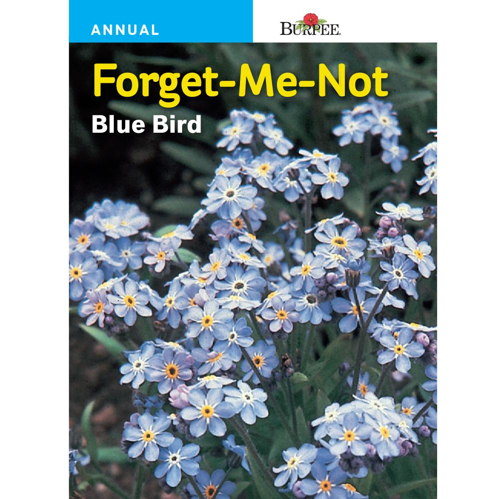 Bur Forget Me Not Seed 43778 The