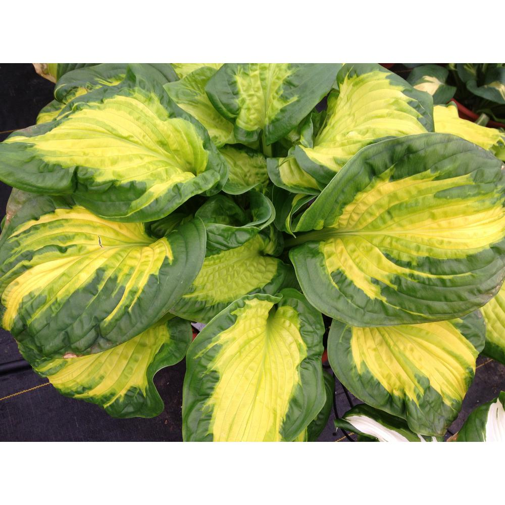 Proven Winners 065 Gal Shadowland Etched Glass Hosta Live Plant