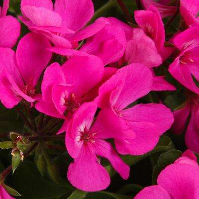 Timeless Lavender Geranium (Pelargonium) Live Plant, Purple Flowers, 4.25 in. Grande, 4-pack