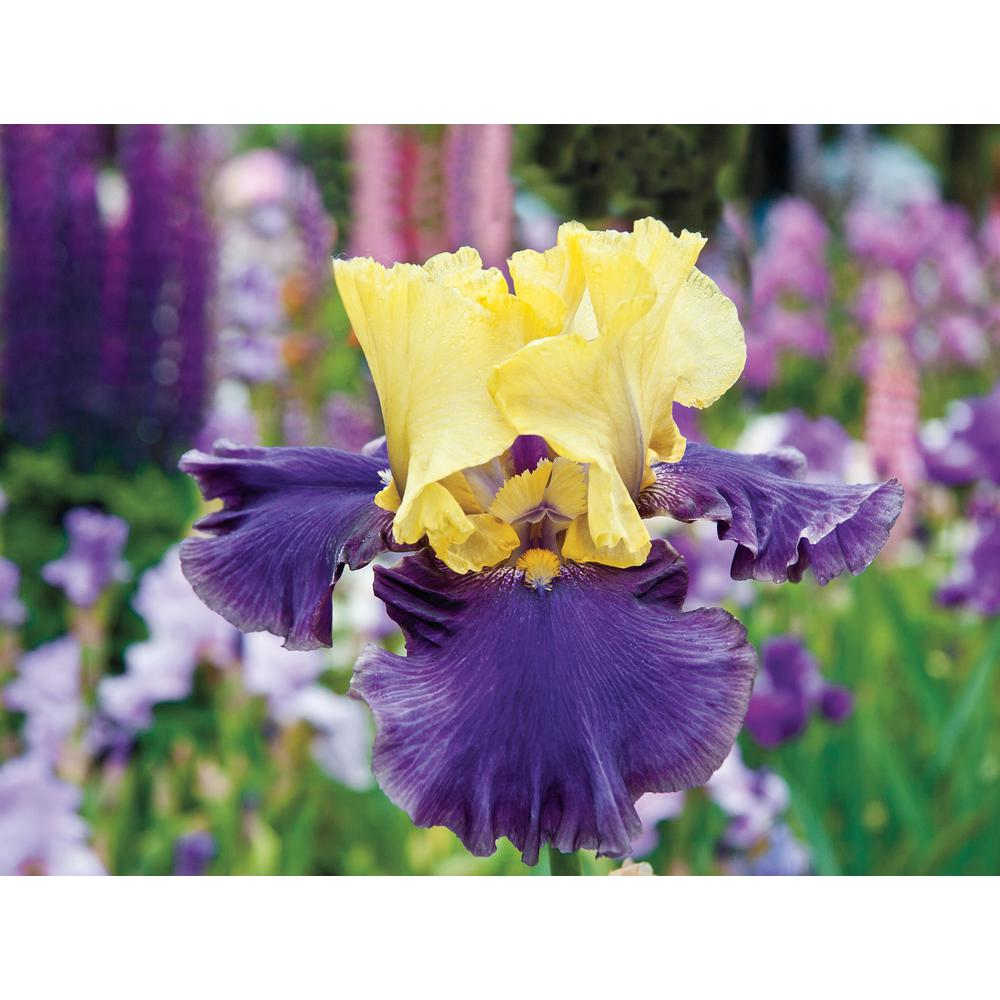 Jurrassic Park Reblooming Iris Purple and Yellow Flowers Live Bareroot Plant