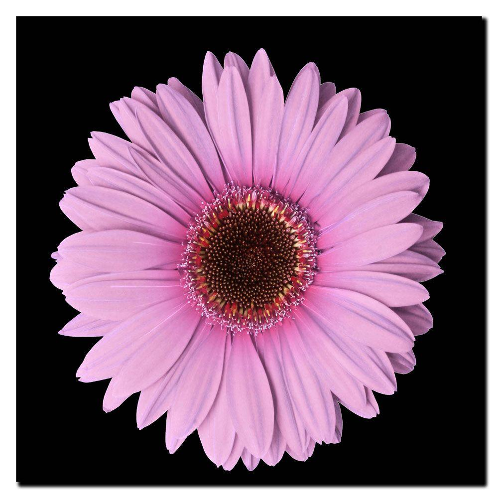 null 14 in. x 14 in. Pink Gerber Daisy Canvas Art