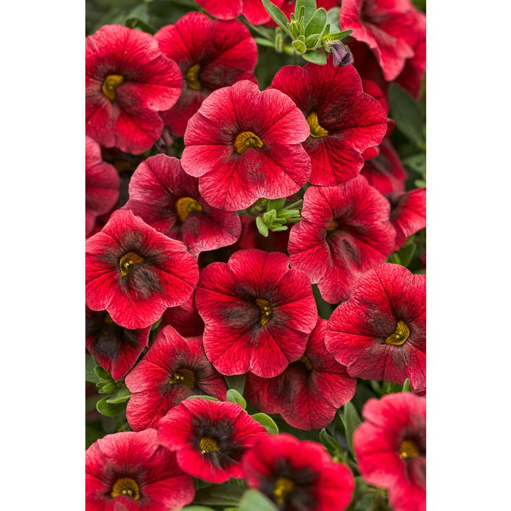 Red Annuals Garden Plants Flowers The Home Depot