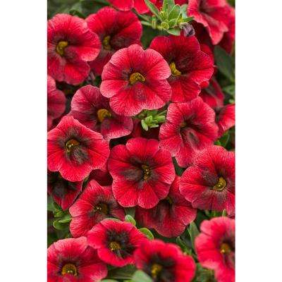 Superbells Pomegranate Punch (Calibrachoa) Live Plant, Deep Red Flowers, 4.25 in. Grande, 4-pack