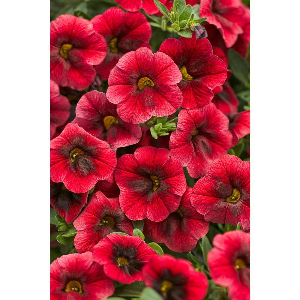 Superbells Pomegranate Punch (Calibrachoa) Live Plant, Deep Red Flowers, 4.25in. Grande,4-pack