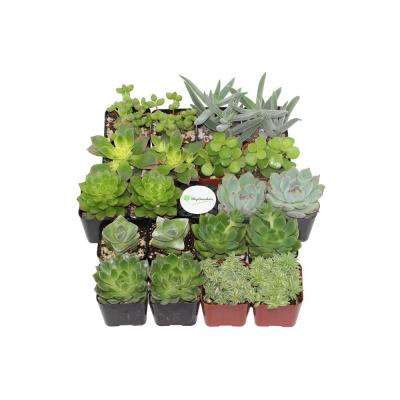 2 in. Green Succulent (Collection of 20)
