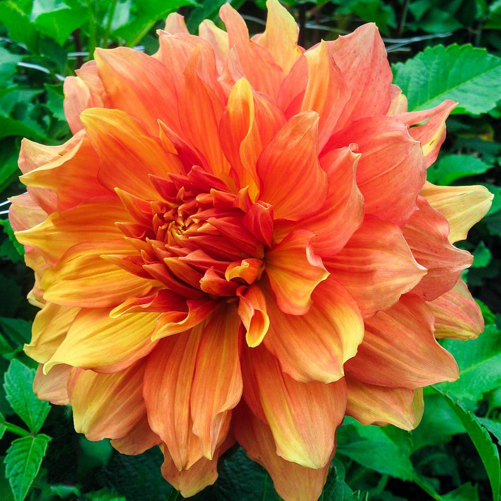 Breck's Orange and Yellow Colored Flowers Mango Madness Dinner Plate Dahlia Bulbs (5-Pack)
