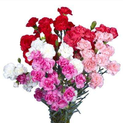 Fresh Valentine's Day Mini Carnations (160 Stems - 640 Blooms)