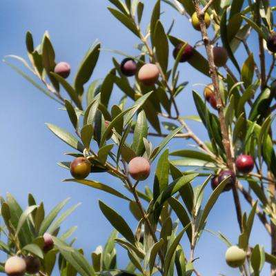 Arbequina Olive