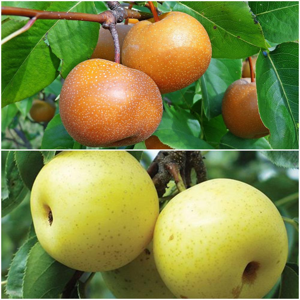 Online Orchards Asian Double Pear Twist Tree