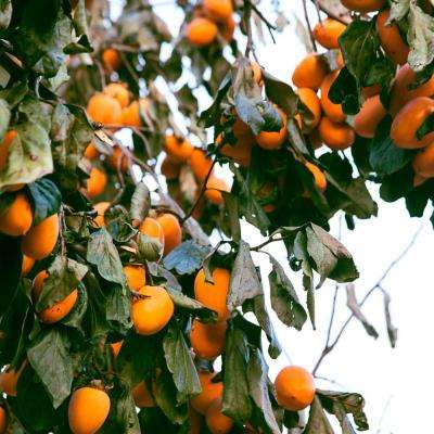 Chocolate Persimmon Diosypros Live Fruiting Bareroot Tree (1-Pack)