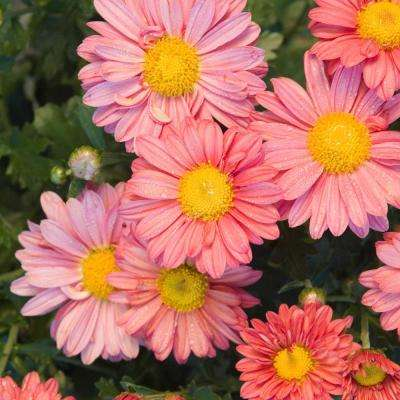 4 in. Pot Coral Daisy Mammoth Mum (Chrysanthemum) Live Flowering Perennial Plant (1-Pack)