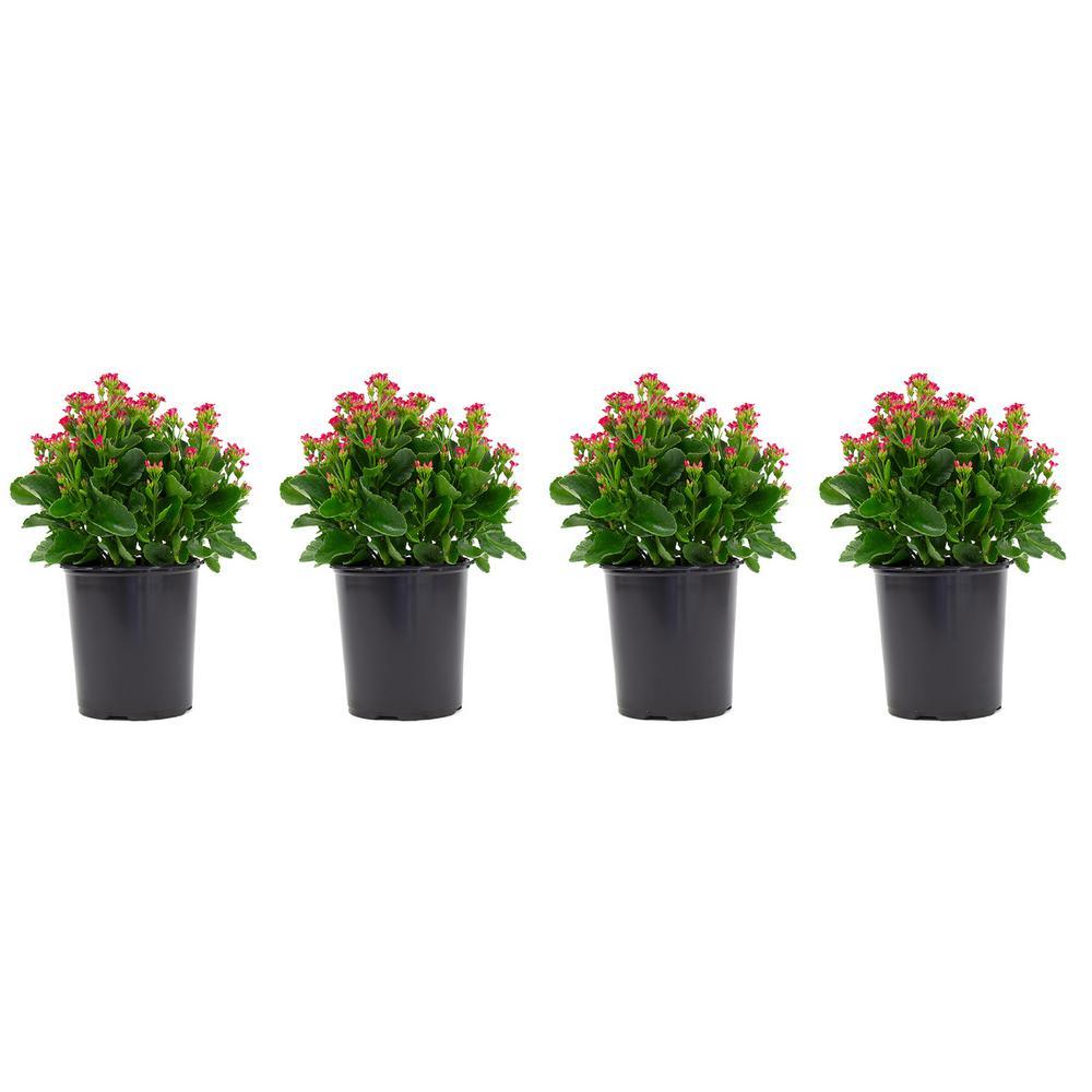 2.5 Qt. Kalanchoe Plant Purple Flowers in 6.33 In. Grower's Pot (4-Plants)