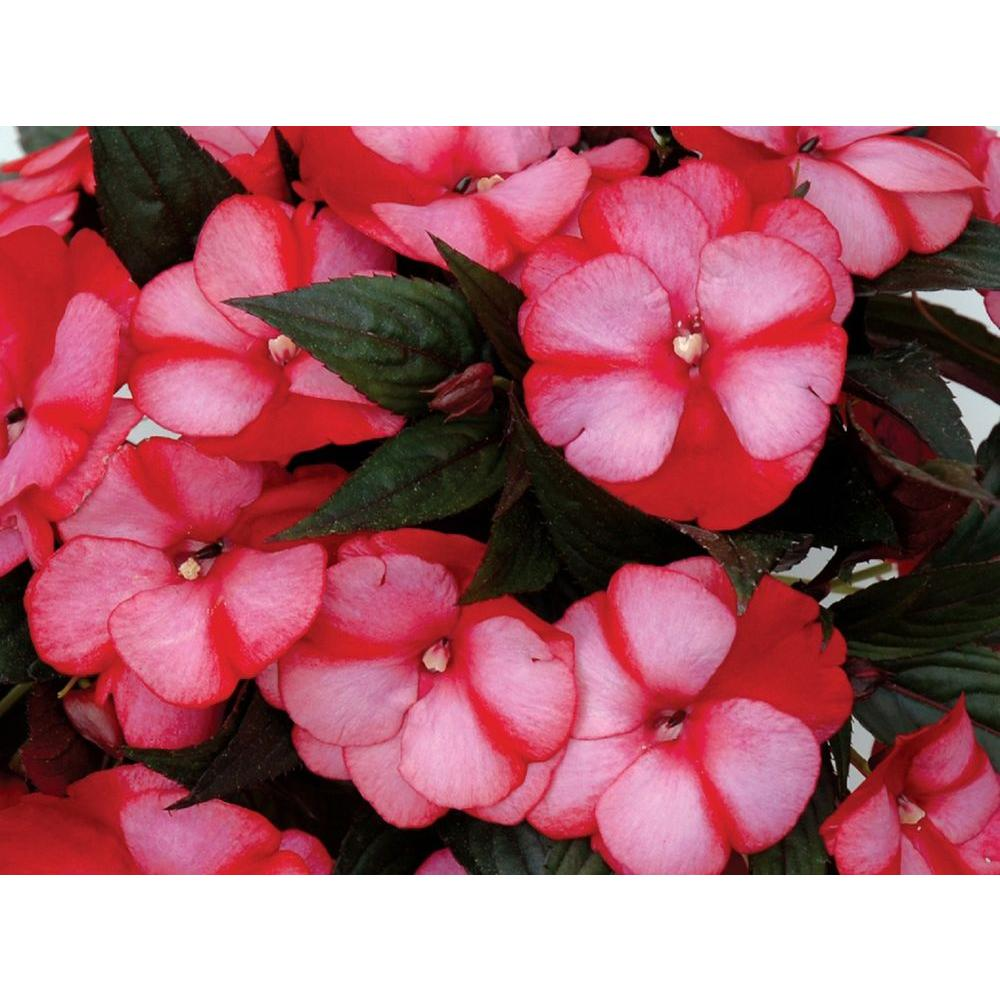 Infinity Blushing Crimson New Guinea Impatiens Live Plant Pink Red Flowers 4 25 In Grande Pack