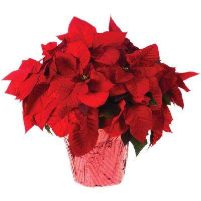 8 in. Live Poinsettia (In-Store Only)