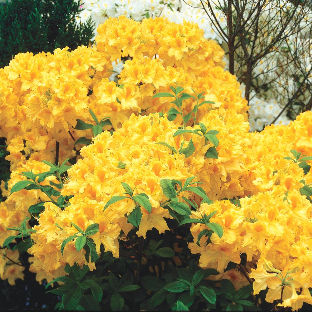 Spring Hill Nurseries 3 In Pot Golden Lights Azalea Rhododendron