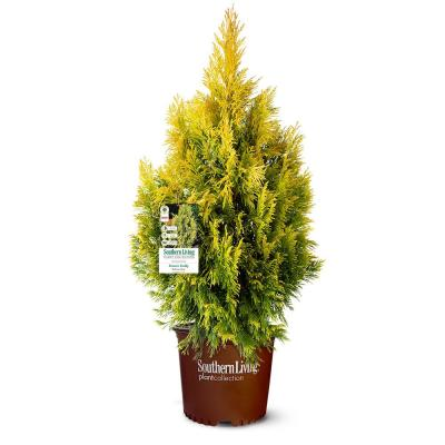 3 Gal. Forever Goldy Arborvitae, Evergreen Tree with Golden-Yellow Foliage
