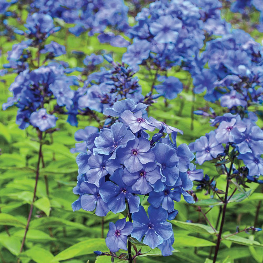 Spring Hill Nurseries Blue Paradise Tall Garden Phlox Live Bareroot Perennial with Bluish-Purple Flowers