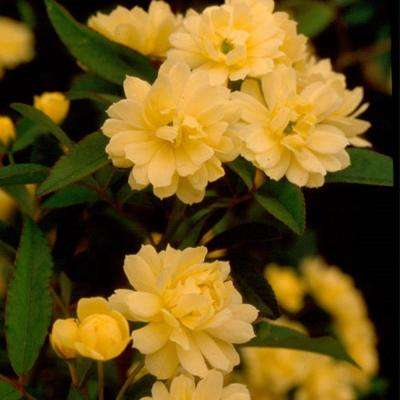 3 Gal. Rose Yellow Lady Banks, Live Thornless Vine Plant, Miniature Yellow Blooms