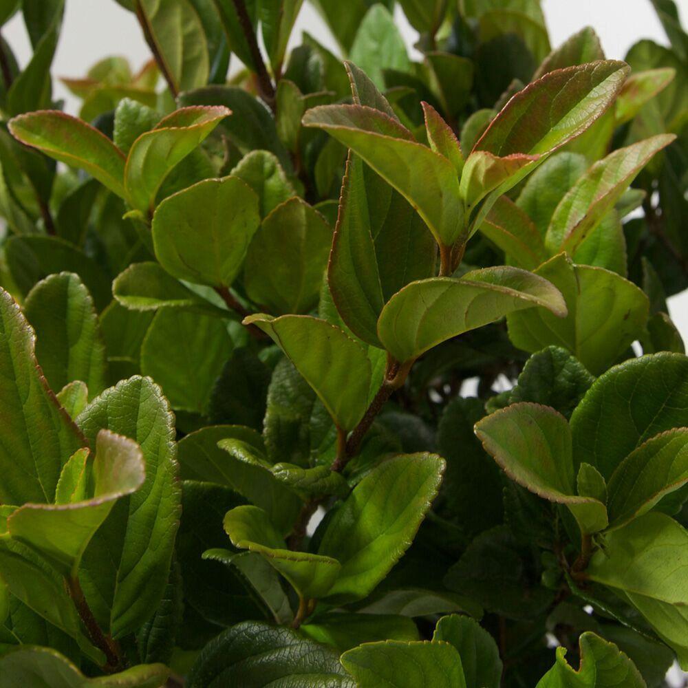 3 gal supensum viburnum live evergreen shrub white to light pink supensum viburnum live evergreen shrub white to light pink flowers mightylinksfo