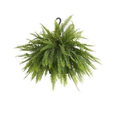 Boston Fern Plant in 9.25 in. Hanging Basket