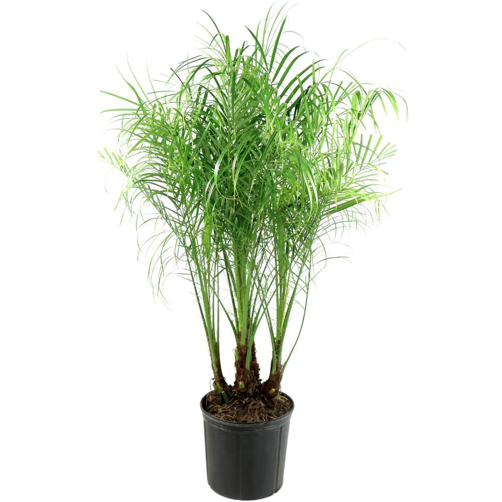 2 Gal. Robellini Palm Tree