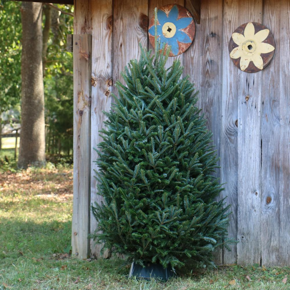 Cottage Farms Direct 6 ft. to 6.5 ft. Freshly Cut Fraser Fir Real Christmas Tree (Live)