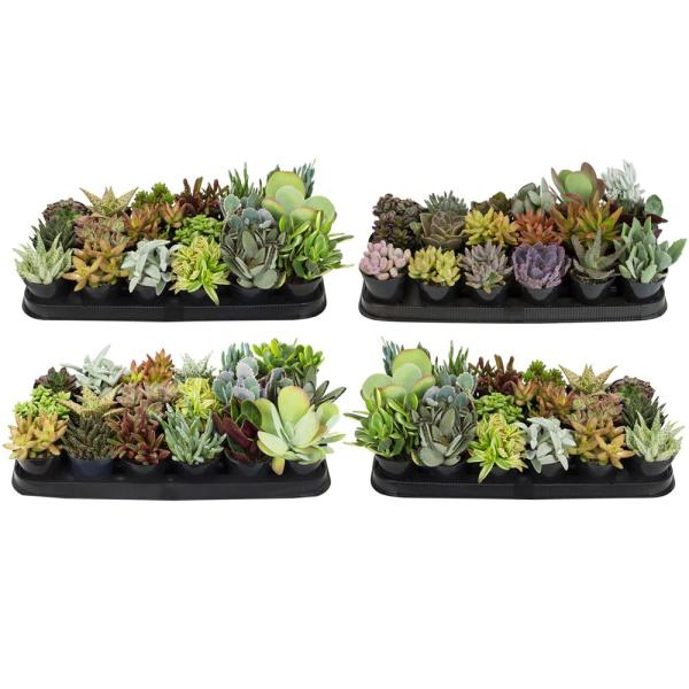 9 cm Succulent Plant Collection (72-Pack)