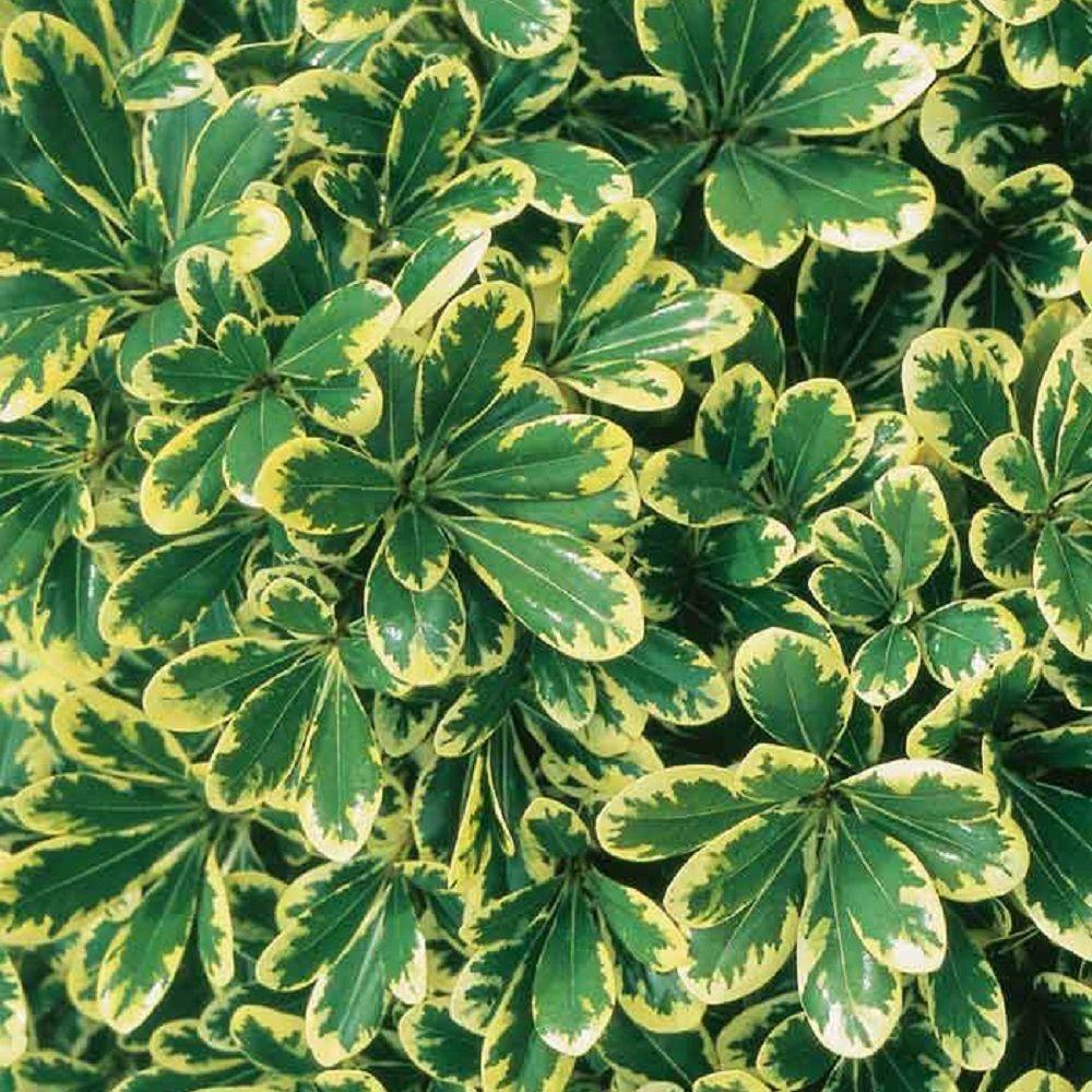 2 Gal. Mojo Pittosporum, Live Dwarf Evergreen Shrub, Green and White Variegated Foliage