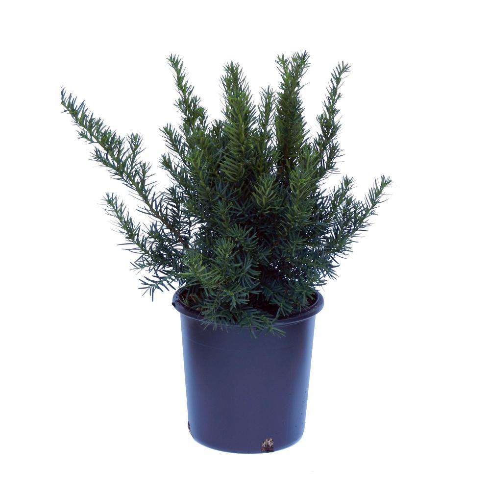 2 Gal. Densiformis Taxus (Yew) Plant