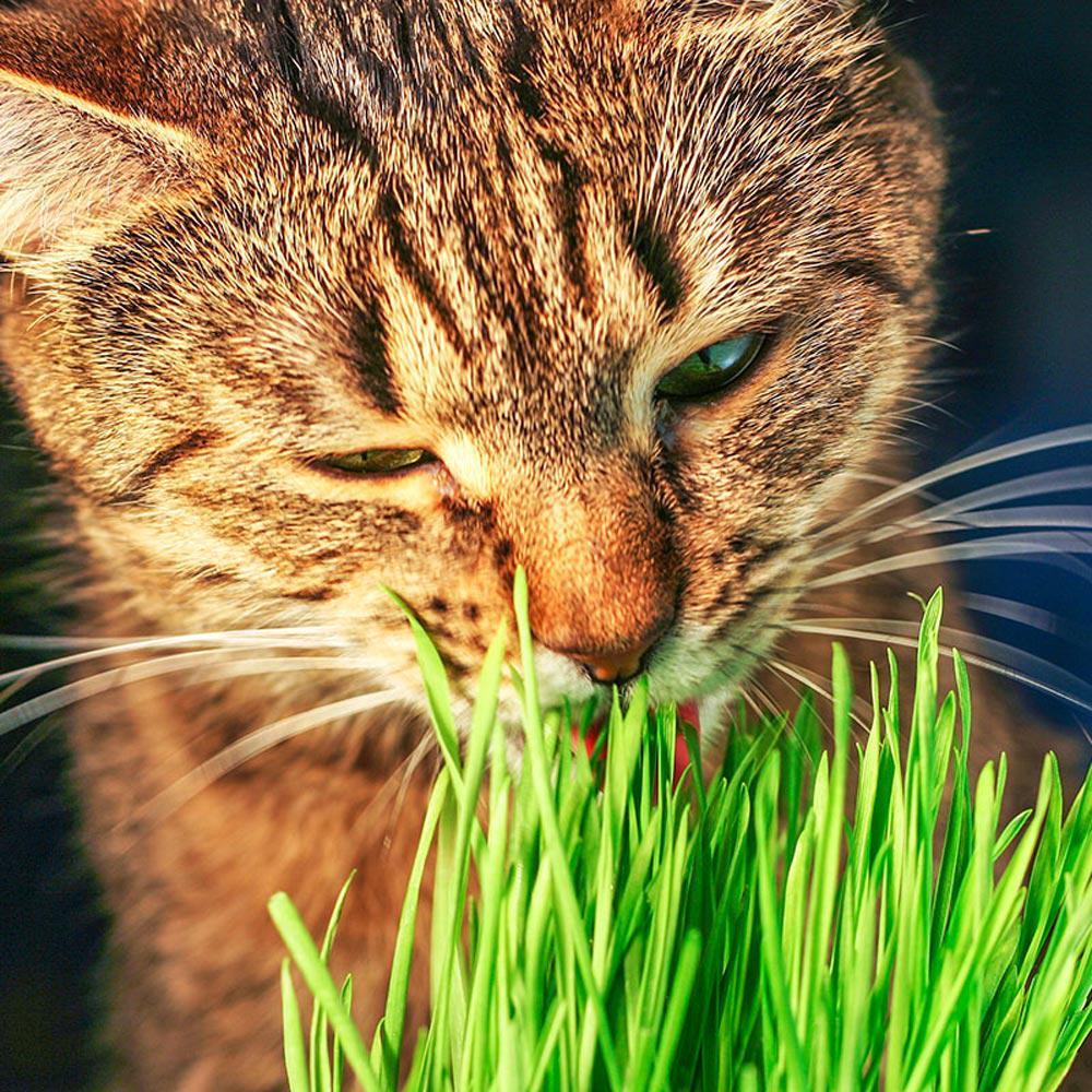 1 oz. Package Cat Grass Common Oat Grass (Avena Sativa)