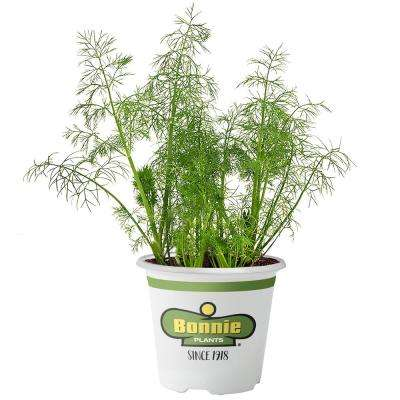 4.5 in. Fernleaf Dill