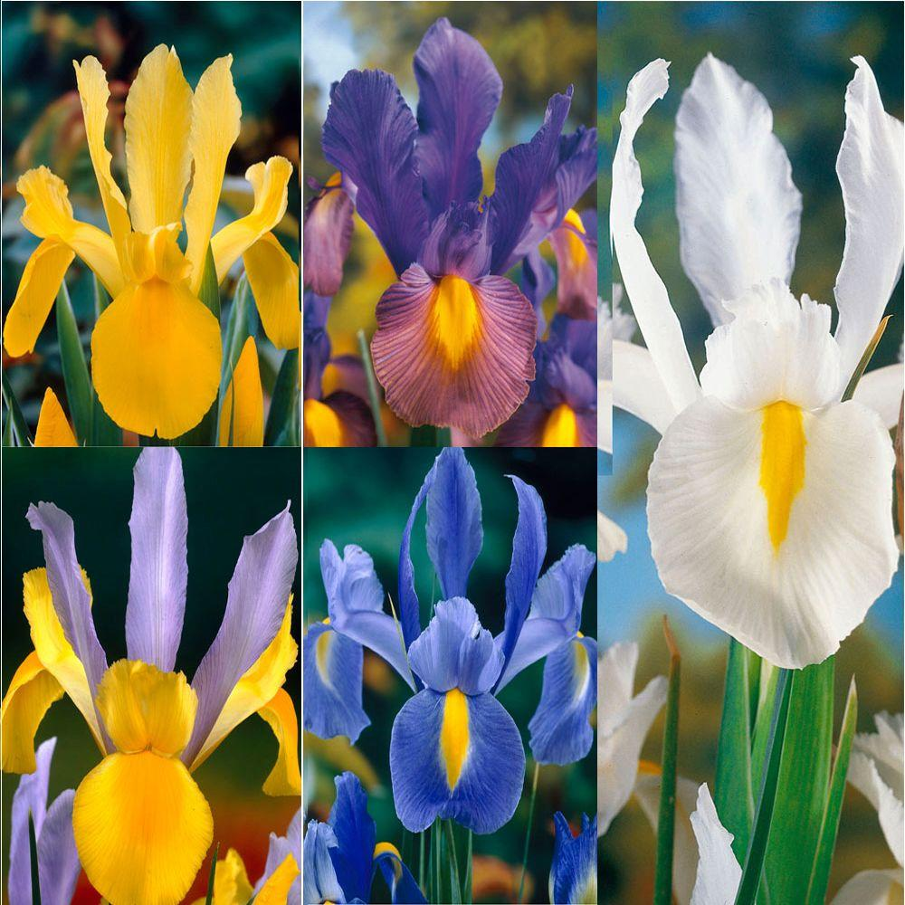 Care Free And Rewarding Dutch Iris Bulbs Collection 50 Pack
