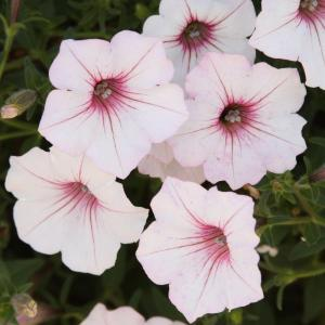 Supertunia Vista Silverberry (Petunia) Live Plant, White Flowers with Bright Pink Veins, 4.25 in. Grande
