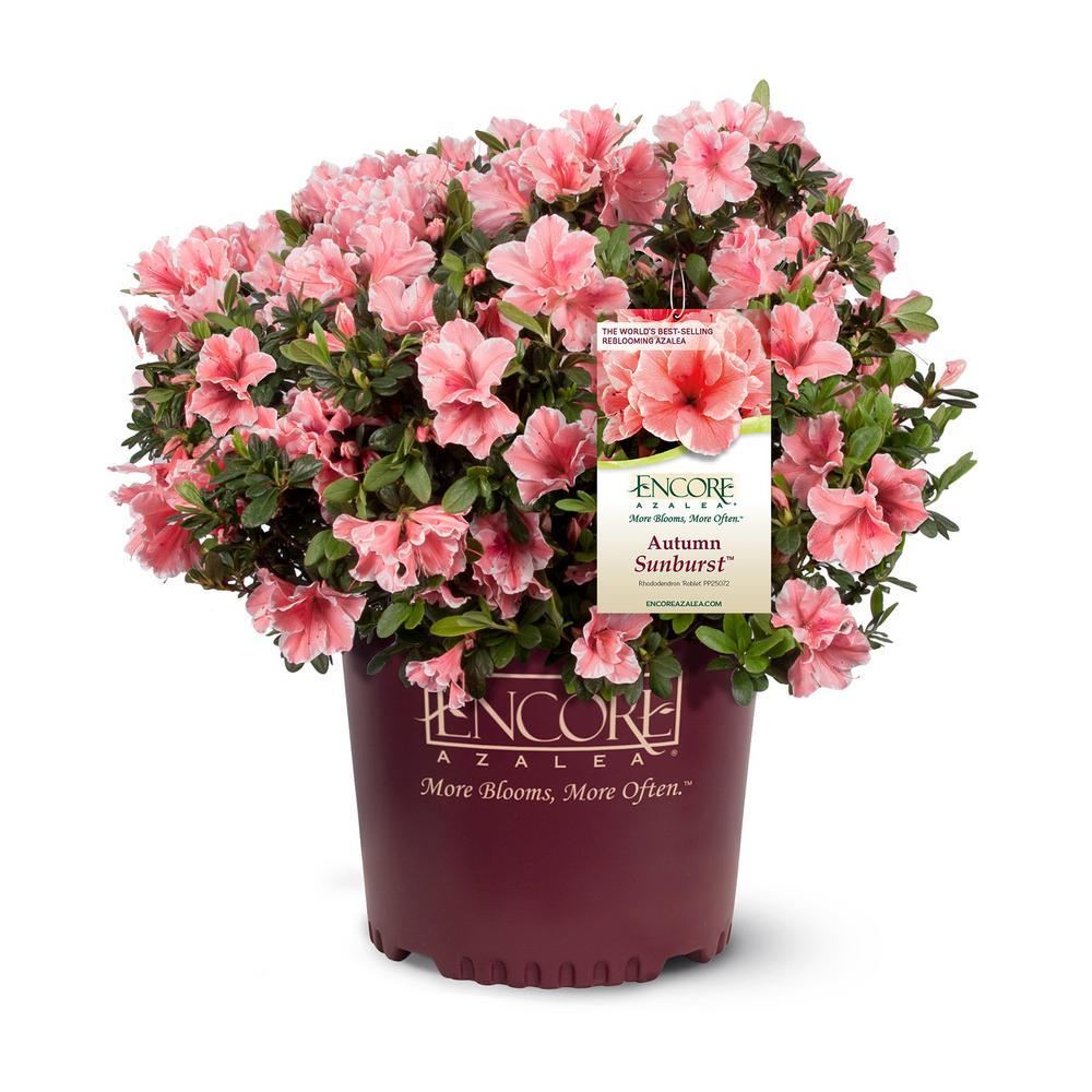 3 Gal. Autumn Sunburst Azalea Shrub with Coral Pink White Ruffled Edged Flowers