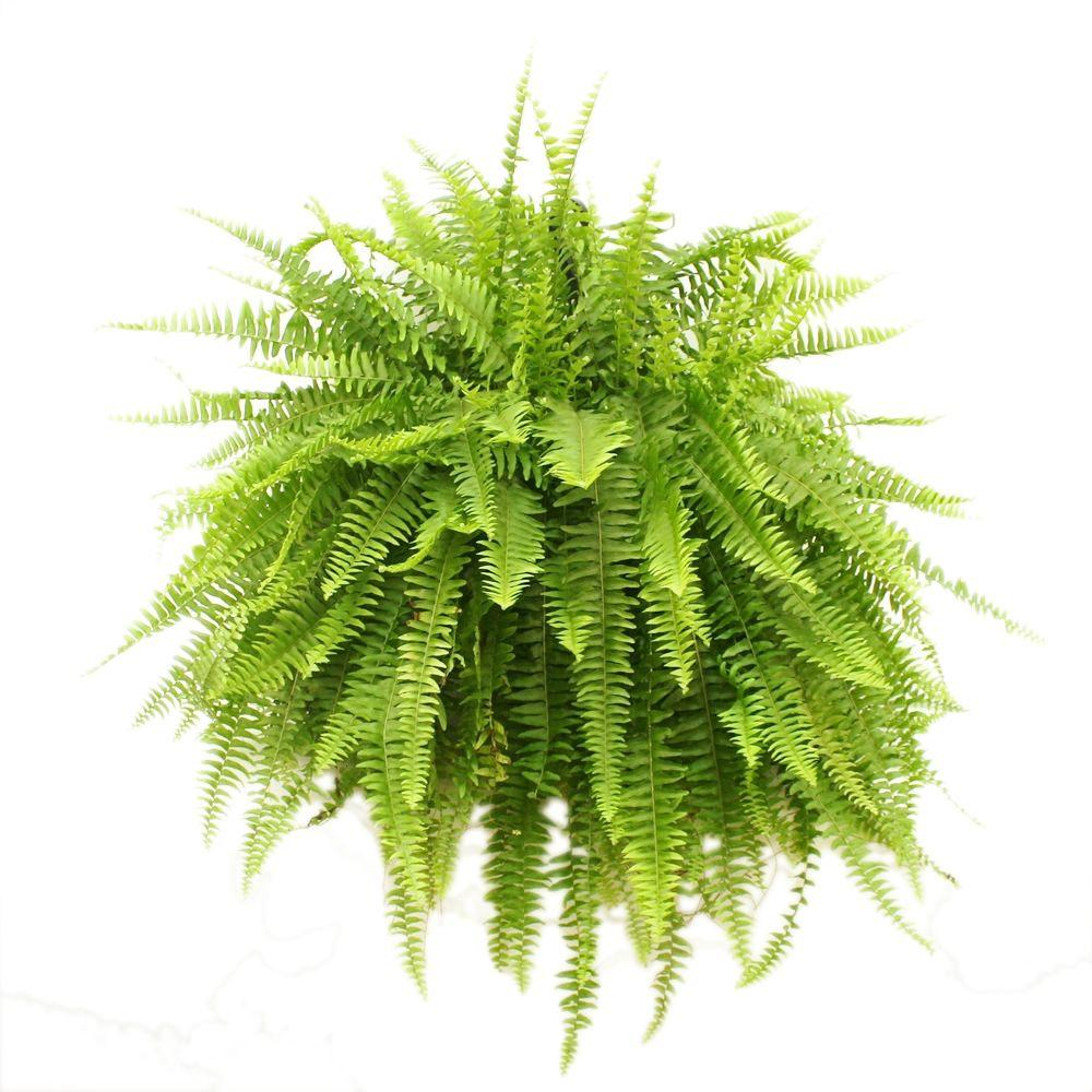 Costa Farms Boston Fern in 10 in. Hanging Basket